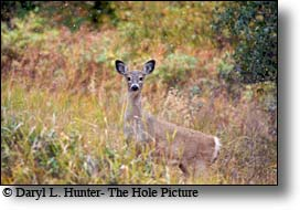 Whitetail deer doe, paradise valley montana