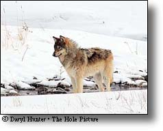 Yellowstone Grey Wolf