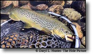 Large Brown Trout like this on are common on the upper Missouri River