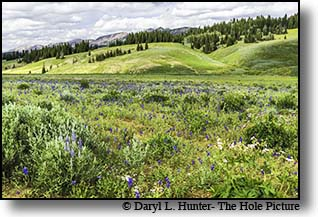 Wildflower bloom in the high country of the Wyoming Range