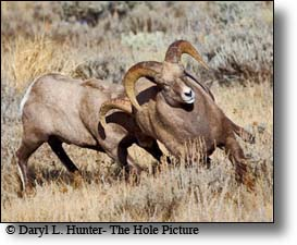fighting bighorn rams