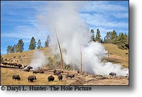 Bison herd, mud volcano, Yellowstone National park, wyoming,
