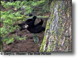 Flying black bear cub, tower Junction, Yellowstone National Park