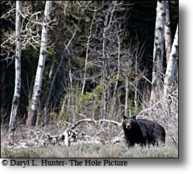 Greater Yellowstone Region Black Bear