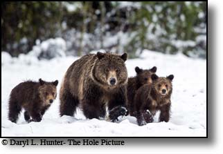 Snowy grizzly bear family, Grand teton National Park