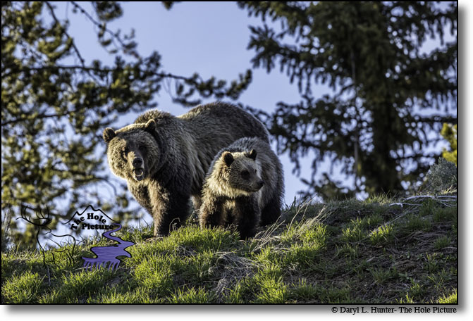 Grizzly Bear sow and Cub near Yellowstone