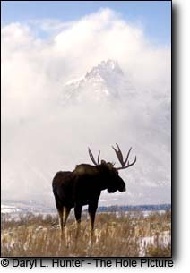 Bull Moose, grand tetons