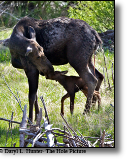 Mother and baby moose, Grand Teton National Park, Jackson Hole, Wyoming