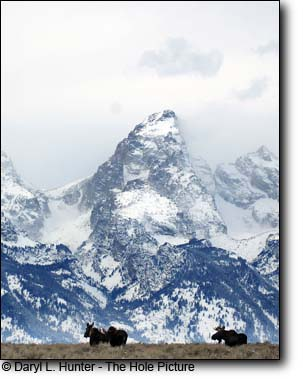 Two bull moose and a cow under the Grand Tetons in Jackson Hole Wyoming