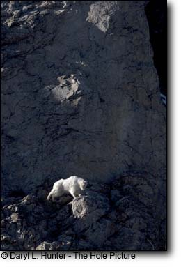 Mountain Goat jumps along cliff