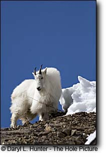 A sunny spring day is good news for this mountain goat