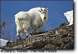 There are several places to hunt Mountain Goats in the Yellowstone Region
