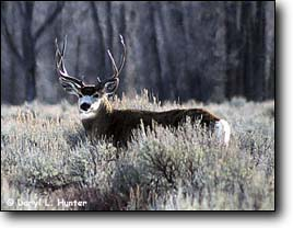 Trophy Buck Deer, Cody Wyoming