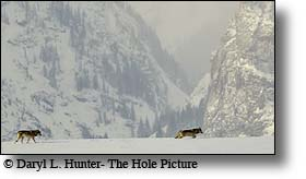 Two Wolves, Grand Teton National Park, Grand Tetons