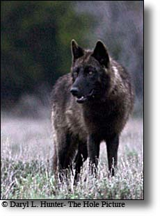 Greater Yellowstone black Wolf