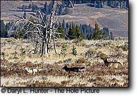 Wolves hunting elk