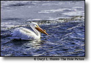 Pelicans killing cutthroat trout