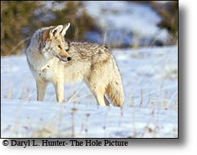 Coyote, morning light, Yellowstone National Park