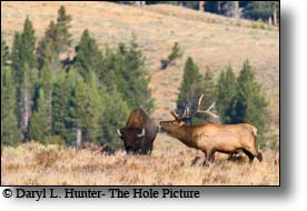 Bull elk, bugling, buffalo, Yellowstone National Park