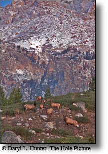 Elk Herd, Jackson Hole Wyoming