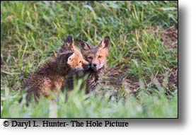 Red fox kits, Jackaon Hole, Grand Teton National Park, Wyoming